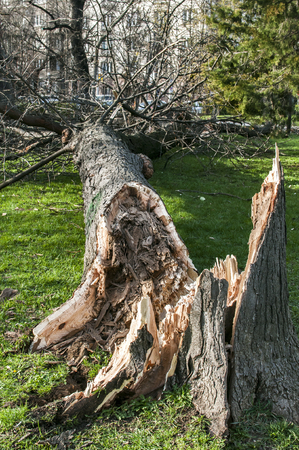 Fallen large tree in city park due to strong storm