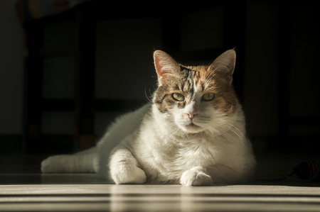 Female cat lying in sunlight shadow on house wooden floor