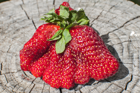 A big red strawberry with strange shape on old stump surface closeup in sunny day