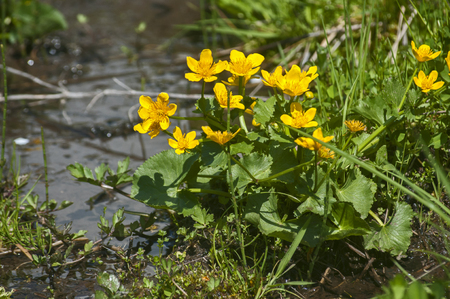 Buttercup yellow blooming plant near mountain spring water