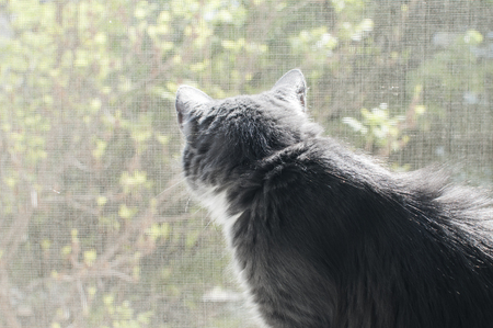 Young gray cat looking through mosquito net window