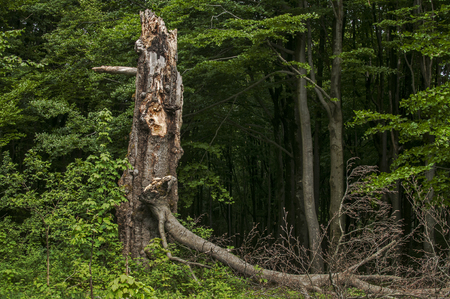 Broken and rotten big tree in the woods as natural background