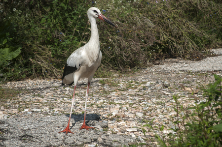 White stork closeup on stone road and greenery background in sunny summer day 스톡 콘텐츠