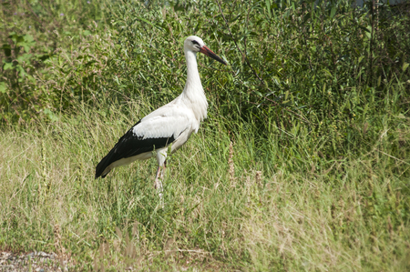 White stork closeup on greenery background in sunny summer day