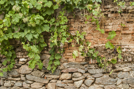 Old rural weathered aged stone and brick of country house garden wall with creeping plants closeup as background