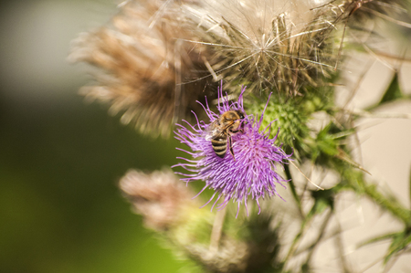A beautiful color of blooming head donkey thistle with wild bee on it closeup as natural background