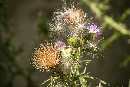 A beautiful color of blooming head donkey thistle closeup as natural floral background