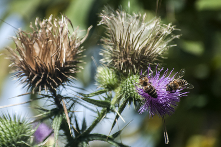 A beautiful color of blooming head donkey thistle with bee on it closeup as natural background 写真素材