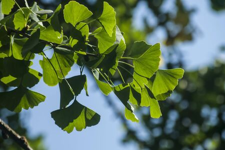 Ginkgo biloba tree leaves closeup on blue sky background in summer time