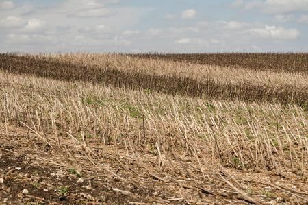 Landscape of sunflower stubble left after harvesting in late summer