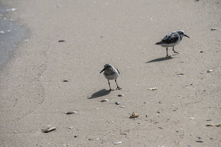 Two common sandpipers  Actitis hypoleucos on sand beach water line in sunny summer day