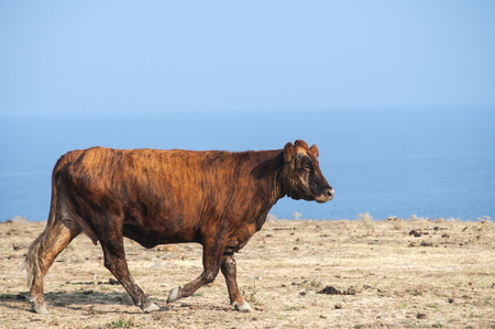Brown cow on desert field and blue sea and sky background in sunny summer day