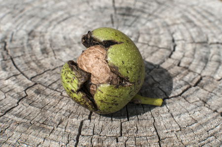 Walnut shell inside its green husk closeup on cut wooden trunk background