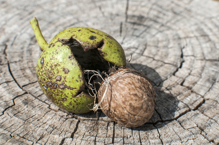 Walnut shell and its green husk closeup on cut wooden trunk background