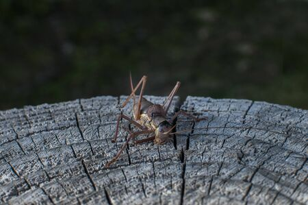 Brown grasshopper closeup on weathered wooden stump