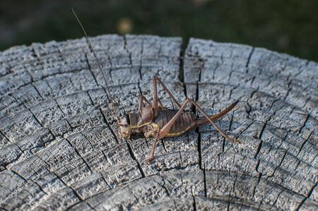 Brown grasshopper closeup on weathered wooden stump Stock Photo - 125904190