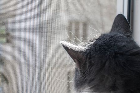 Grey cat looking through window mosquito net closeup Stock Photo
