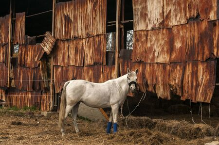 White horse eats straw in old farm barn stable
