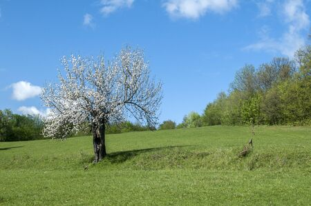 Blossomed apple tree on green grass meadow in clear sunny day Standard-Bild