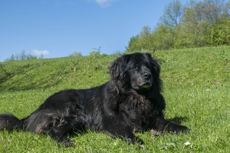 Female black Newfoundland dog lying on green grass meadow closeup in clear sunny day