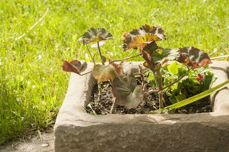 Pelargonium flower leaves closeup in stone garden flowerpot on green grass background