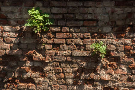 Old weathered aged grunge house brick wall with green plant Standard-Bild