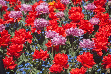 Colourful flower bed closeup closeup as natural floral background