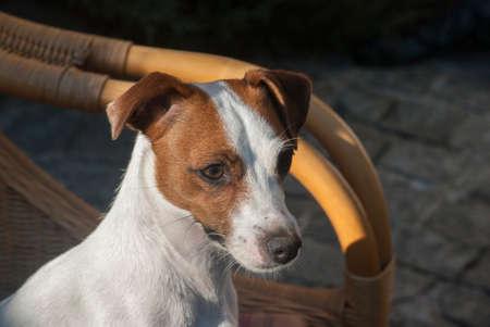 Jack Russell terrier female dog head closeup
