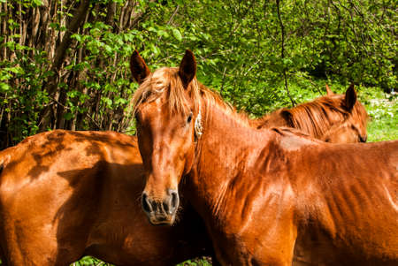 Two young male red horses closeup on rural counrtyside background