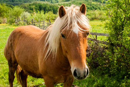Young foal blonde hair horse closeup on rural country background