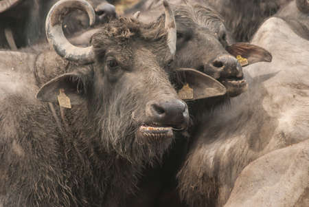 Female black water buffalo closeup on cattle farm mud field