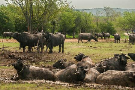 Water buffalo herd  grazing in country farm Standard-Bild