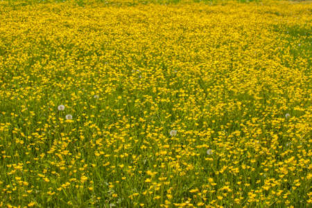 Meadow with yellow blooming spring flowers closeup as yellow floral background