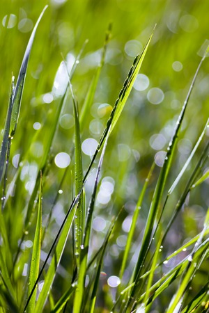 Green grass in the sunlight with a blurred background after rain photo