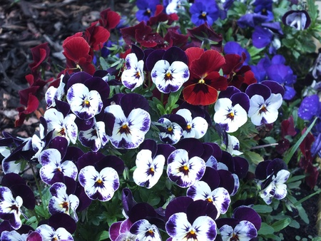 Pansy flowers in nature backgrgound
