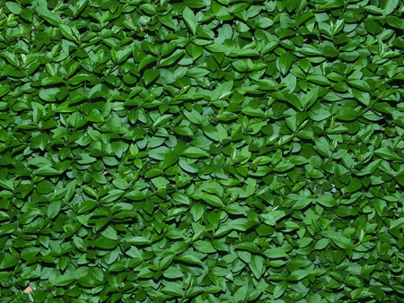 Leaves of hedge