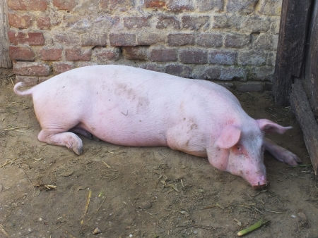 A hog is laying in front of  a wall Stock Photo