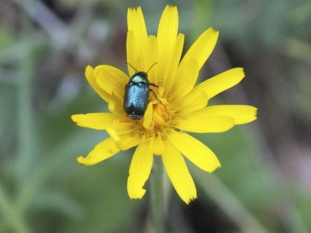 Yellow flower with blue bug