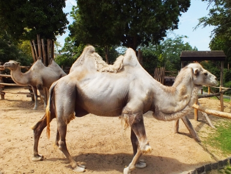 Camel is living in Hungary photo