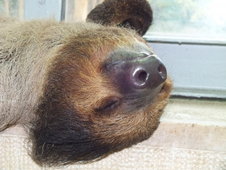Lazy sloth is lying at the window photo