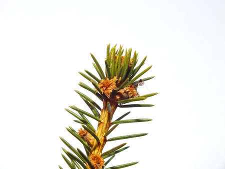 Close up picture of fir tree branch Stock Photo - 16997836
