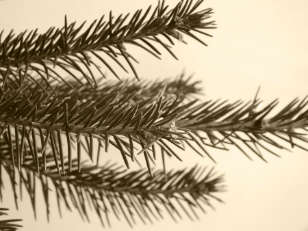 Close up picture of fir tree branch Stock Photo - 16997840