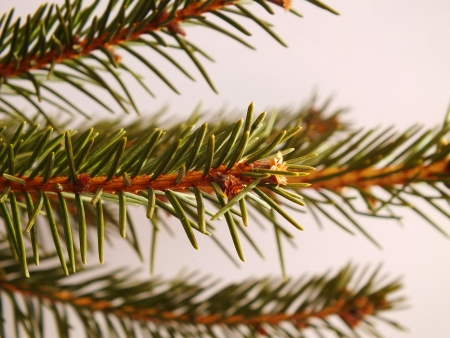 Close up picture of fir tree branch Stock Photo - 16997850