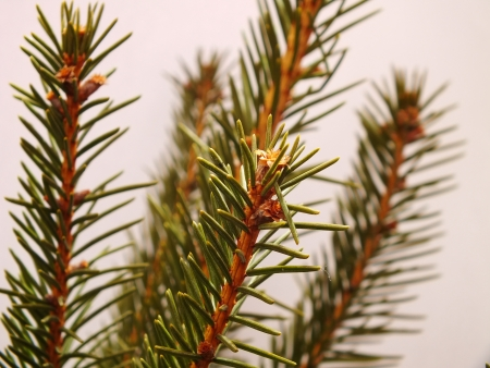 Close up picture of fir tree branch Stock Photo - 16997841