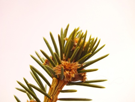 Close up picture of fir tree branch Stock Photo - 16997839
