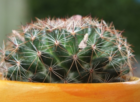Close up picture from a cactus -