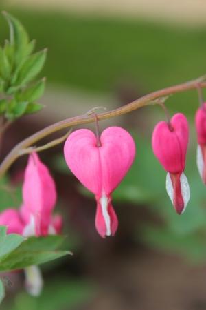 Bleeding heart flowers (Dicentra spectabils) Stock Photo