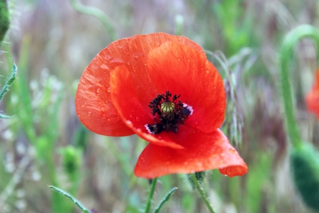 Red poppy in the field - flower of the spring