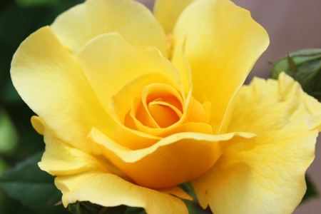 Macro shot of a yellow rose blossom - beautiful layers of petals