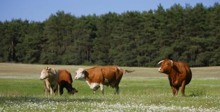 holsteine: Cow and grass in the field - nature photography Stock Photo
